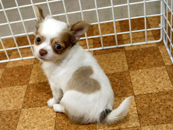Heart-kun, cute chihuahua puppy with heart shape birth mark in Japan