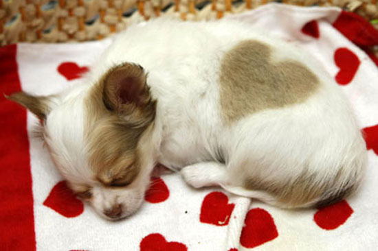 Cute chihuahua dog from Japan