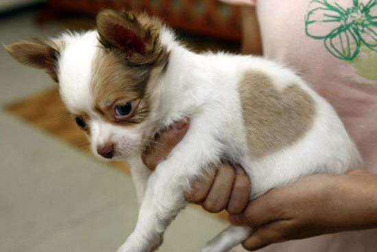 Cute Chihuahua Puppy With Heart Shape Birthmark