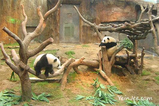 Hong Kong Ocean Park pandas