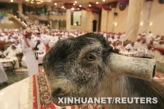 The most beautiful goat in Saudi Arabia