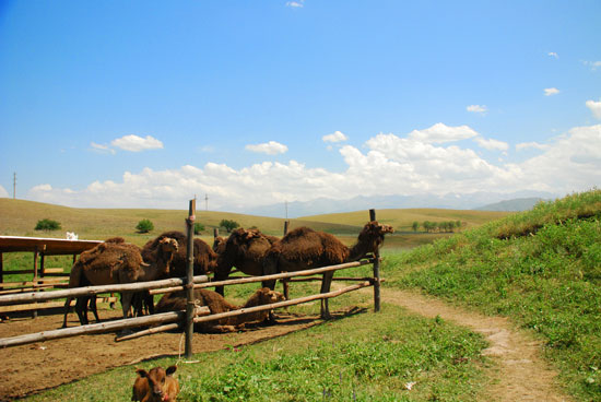 Camels in Central Asia