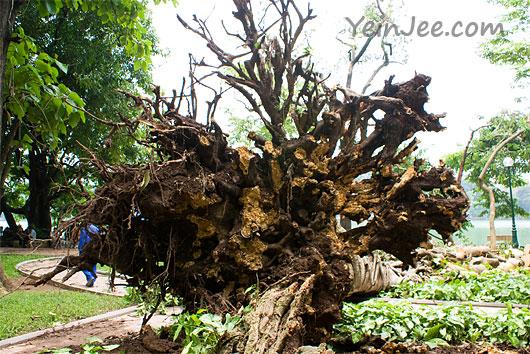 Uprooted tree at Hoan Kiem Lake in Hanoi, Vietnam