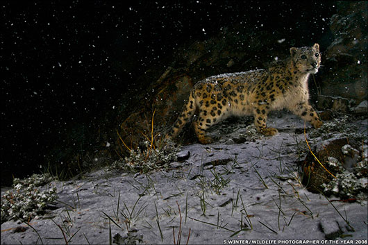 Picture of snow leopard by Steve Winter which won the Wildlife Photographer of the Year 2008 award