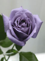Picture of blue rose developed by Santory Flowers