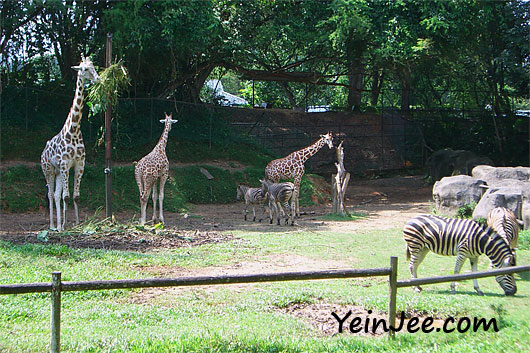Zebras and giraffes at Zoo Negara