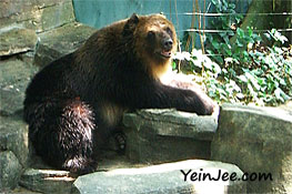 Brown bear at Zoo Negara