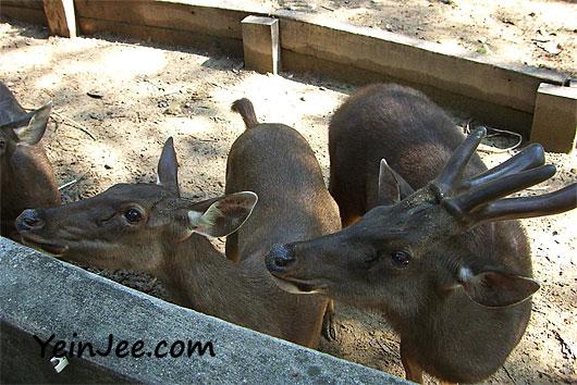 Sambar deers at Zoo Negara
