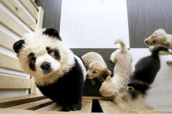 Picture of a panda dog in Jilin, China
