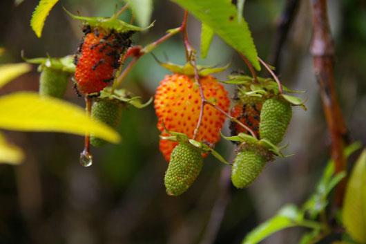 Raspberries at Mt Kinabalu in Sabah, Malaysia