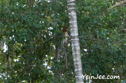 Proboscis monkey at Klias Wetland in Sabah, Malaysia