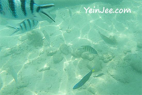 Fishes at Mamutik Island, Sabah, Malaysia