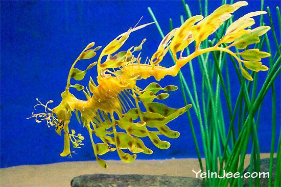 Leafy seadragon at Underwater World Langkawi, Malaysia