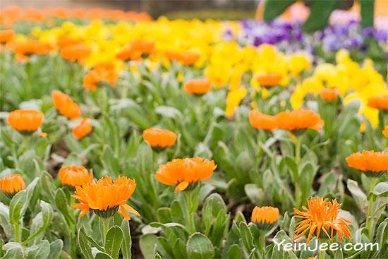 Flowers at Hangang Park, Seoul