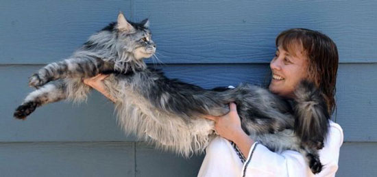 Stewie the longest domestic cat in the world