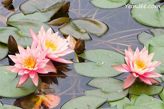 Hong Kong Wong Tai Sin Temple lotus flowers